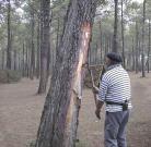 Démonstration devant des touristes : résinier landais pratiquant le pelage au moyen du sarcle à peler, près de Mimizan. Photo Wikipédia